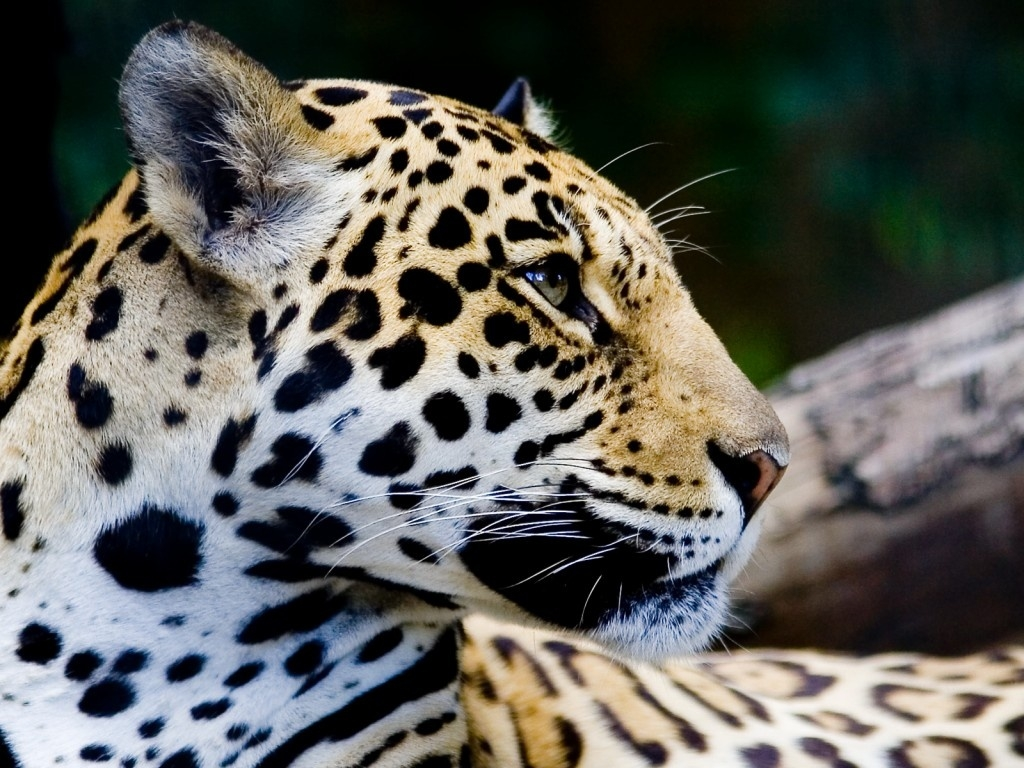 beautiful jaguar 26094