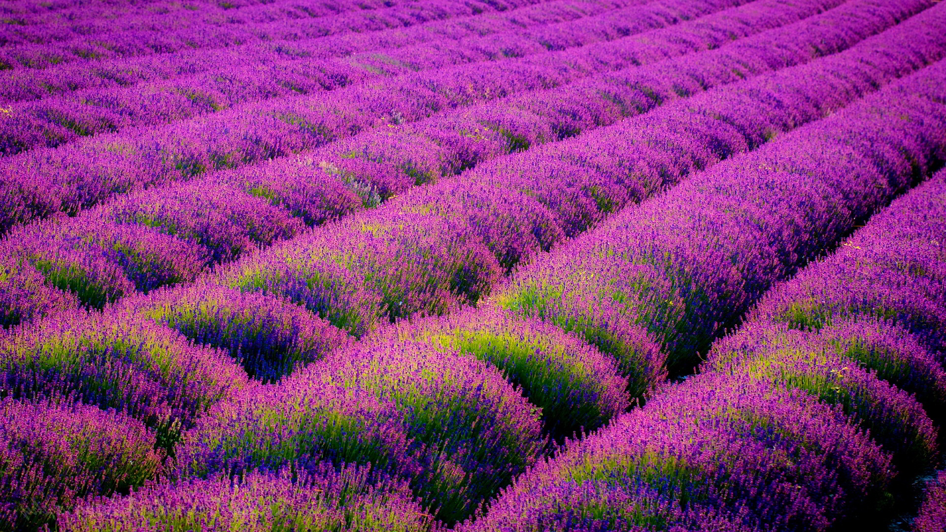 Download Beautiful Lavender Wallpaper 21778 1920x1080 Px