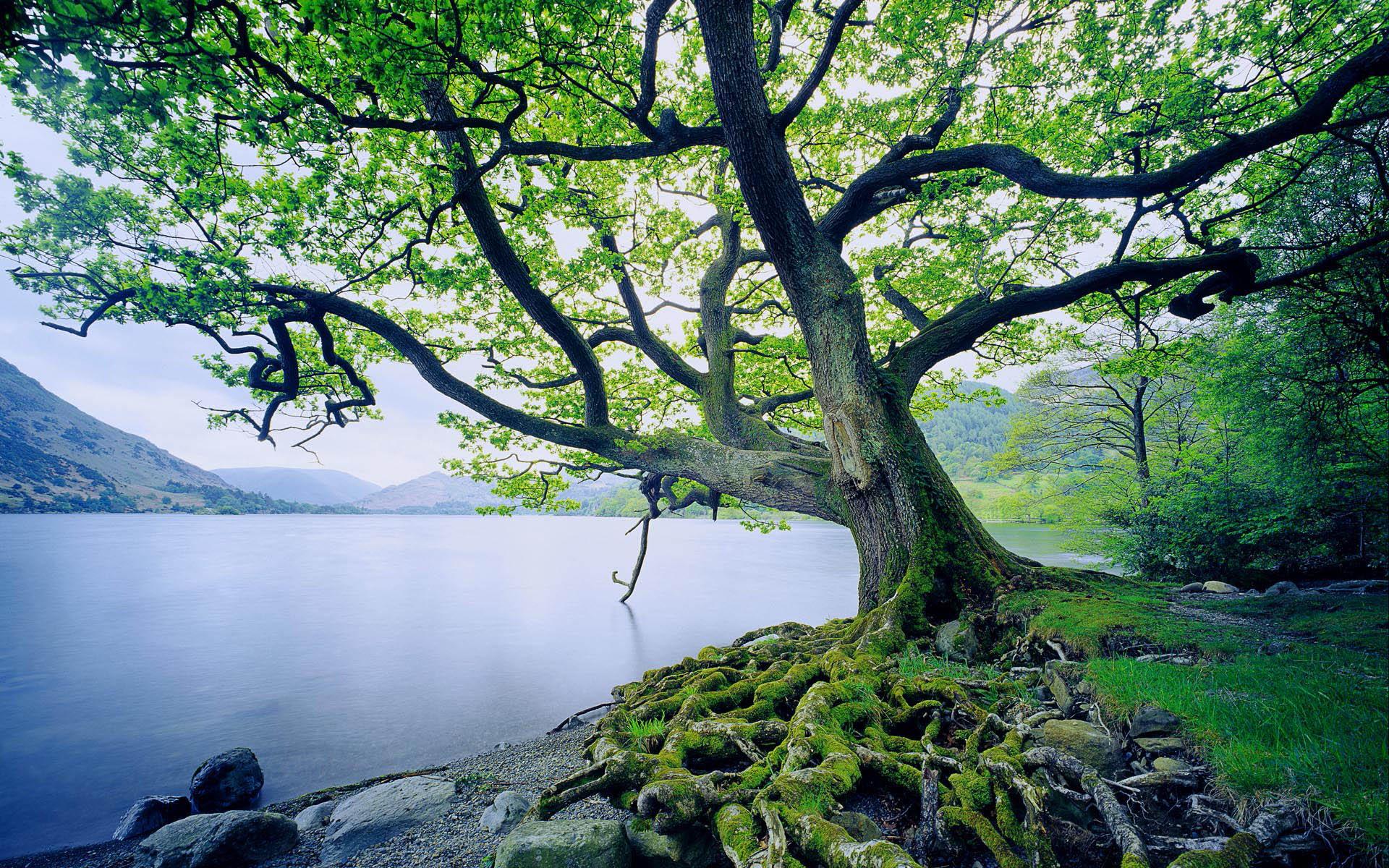 beautiful oak tree 32967