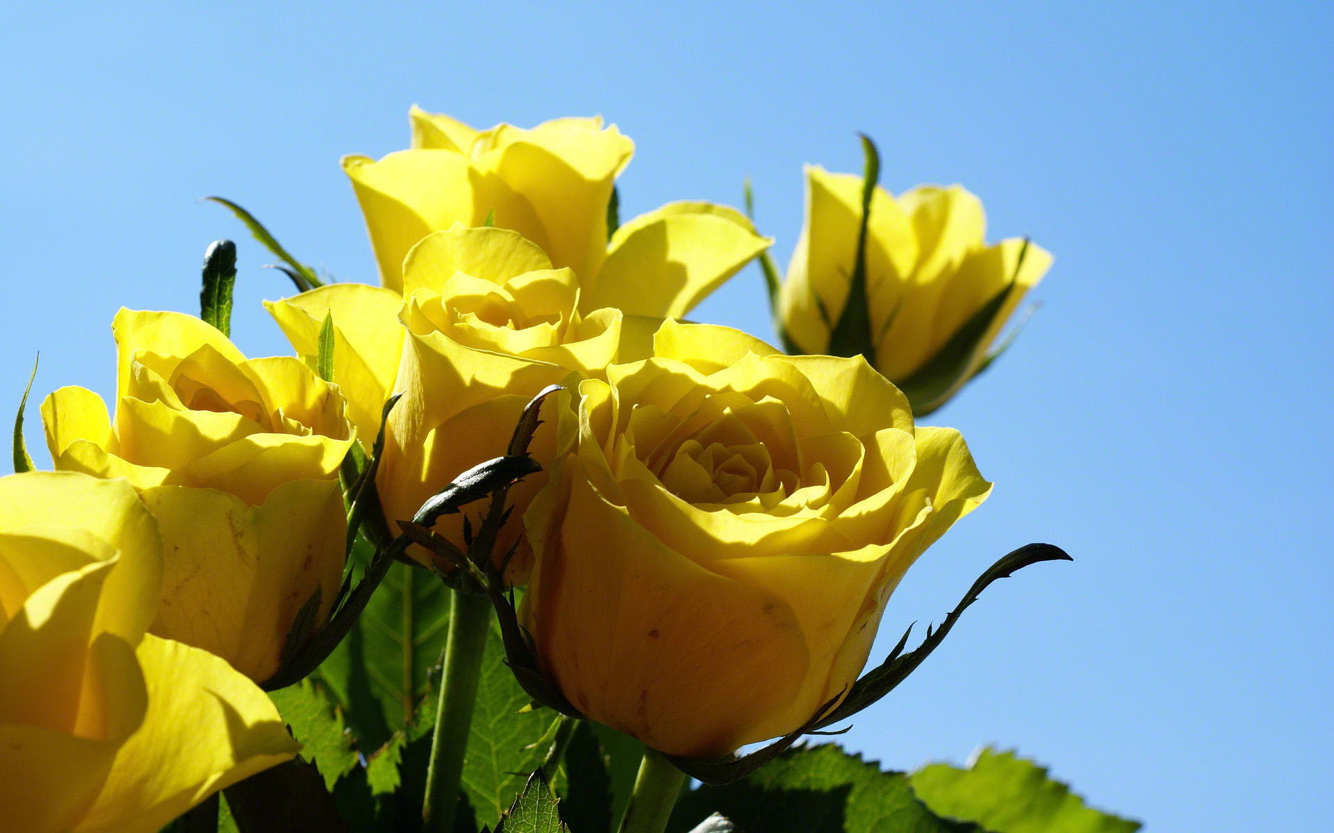 beautiful yellow roses 29675