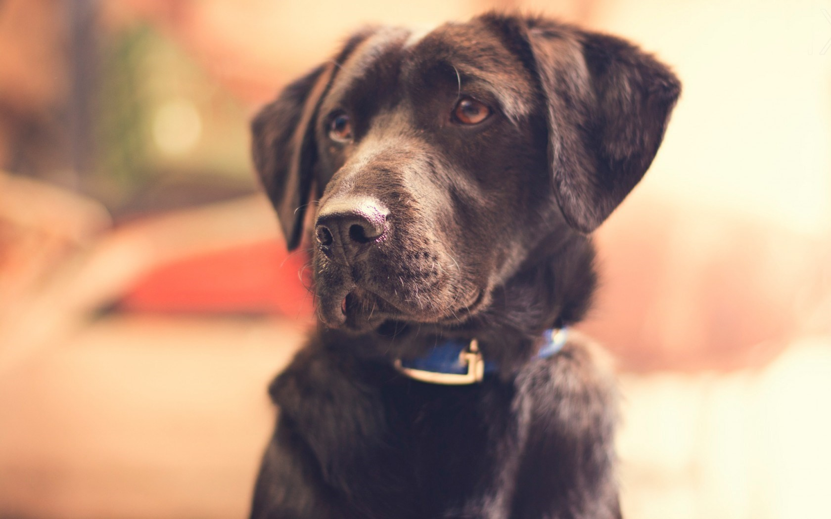 black dog look wallpaper 44120