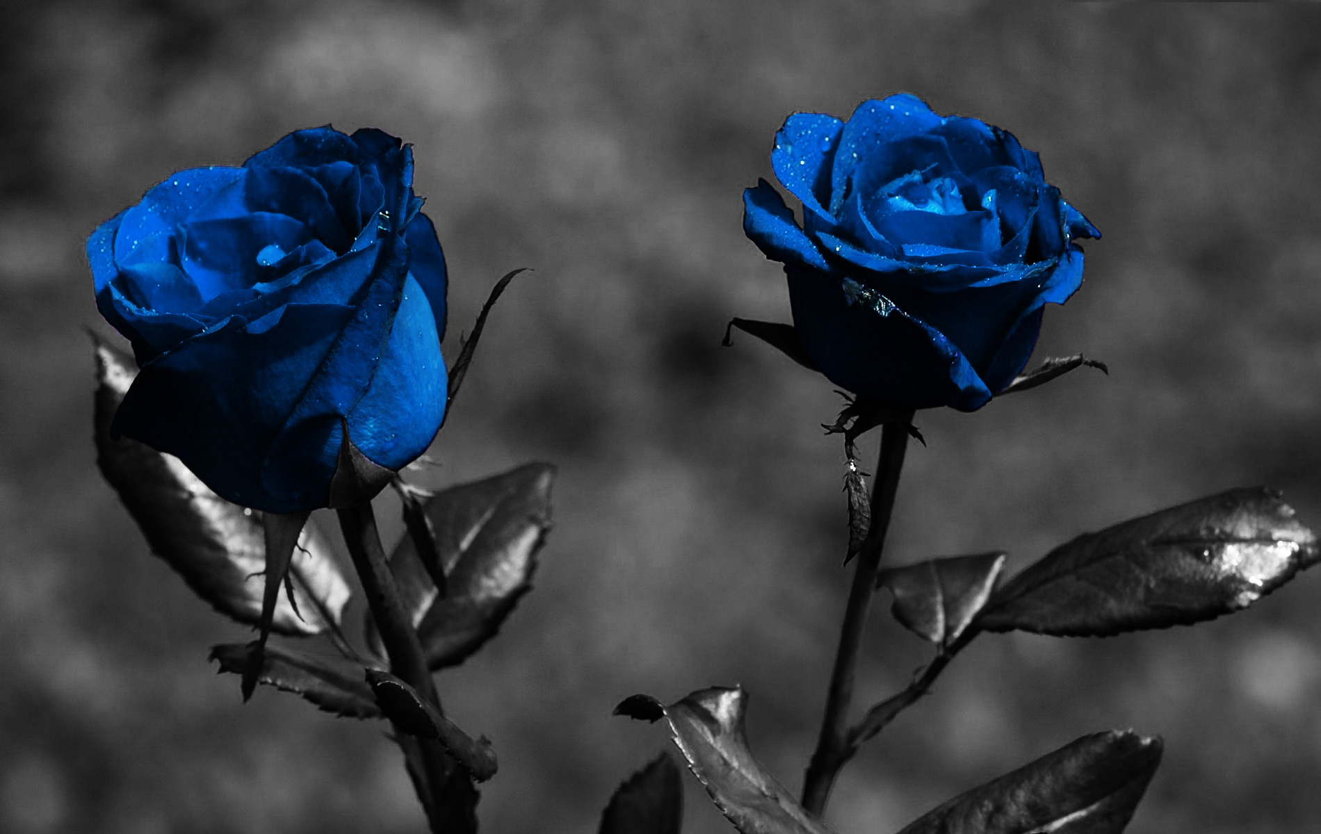 blue roses 29656