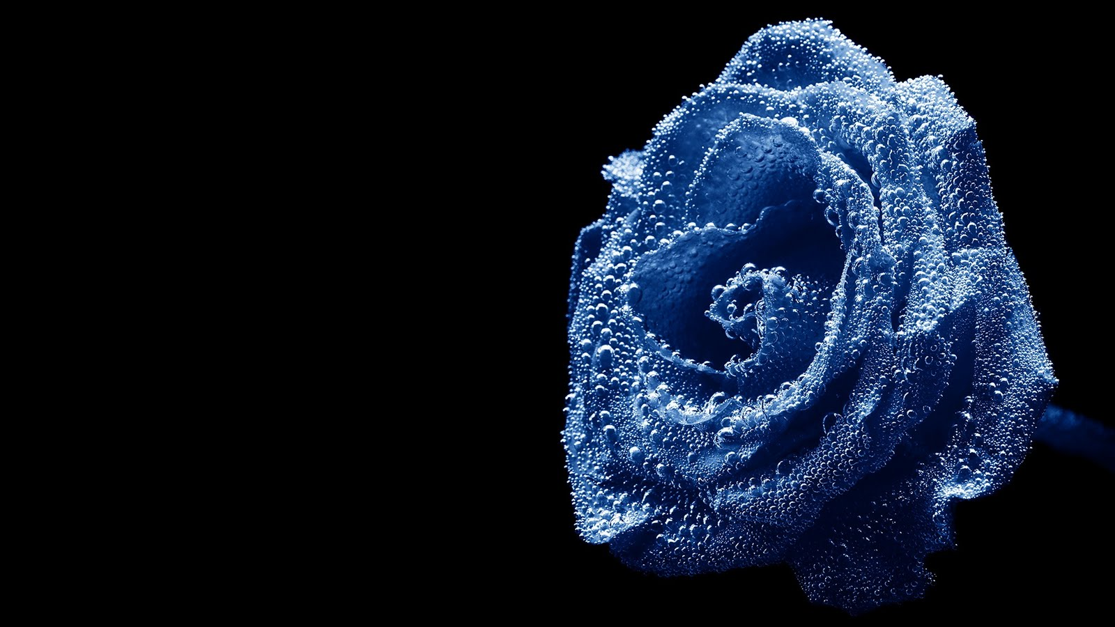 blue roses 29661