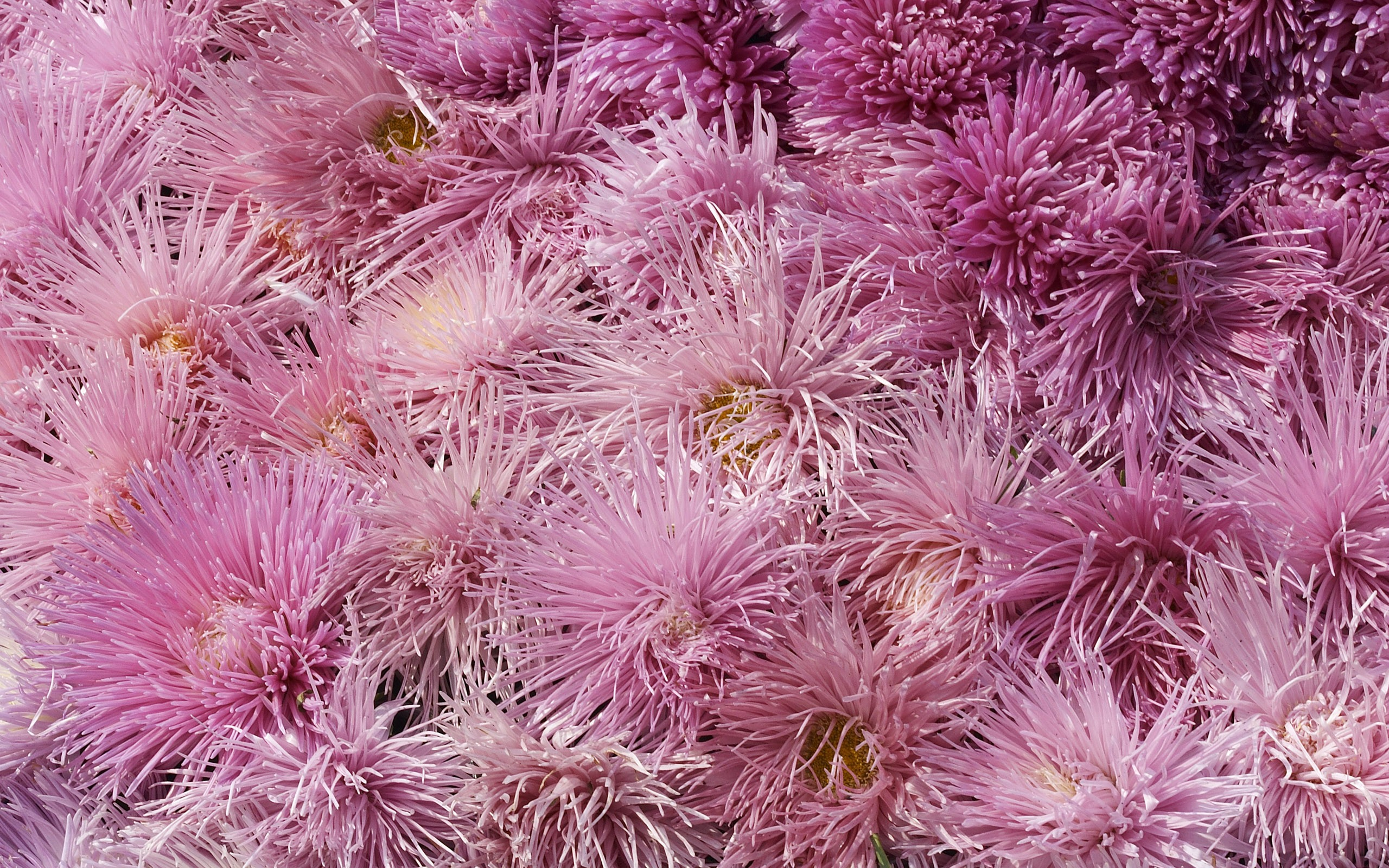 chrysanthemums background 35290