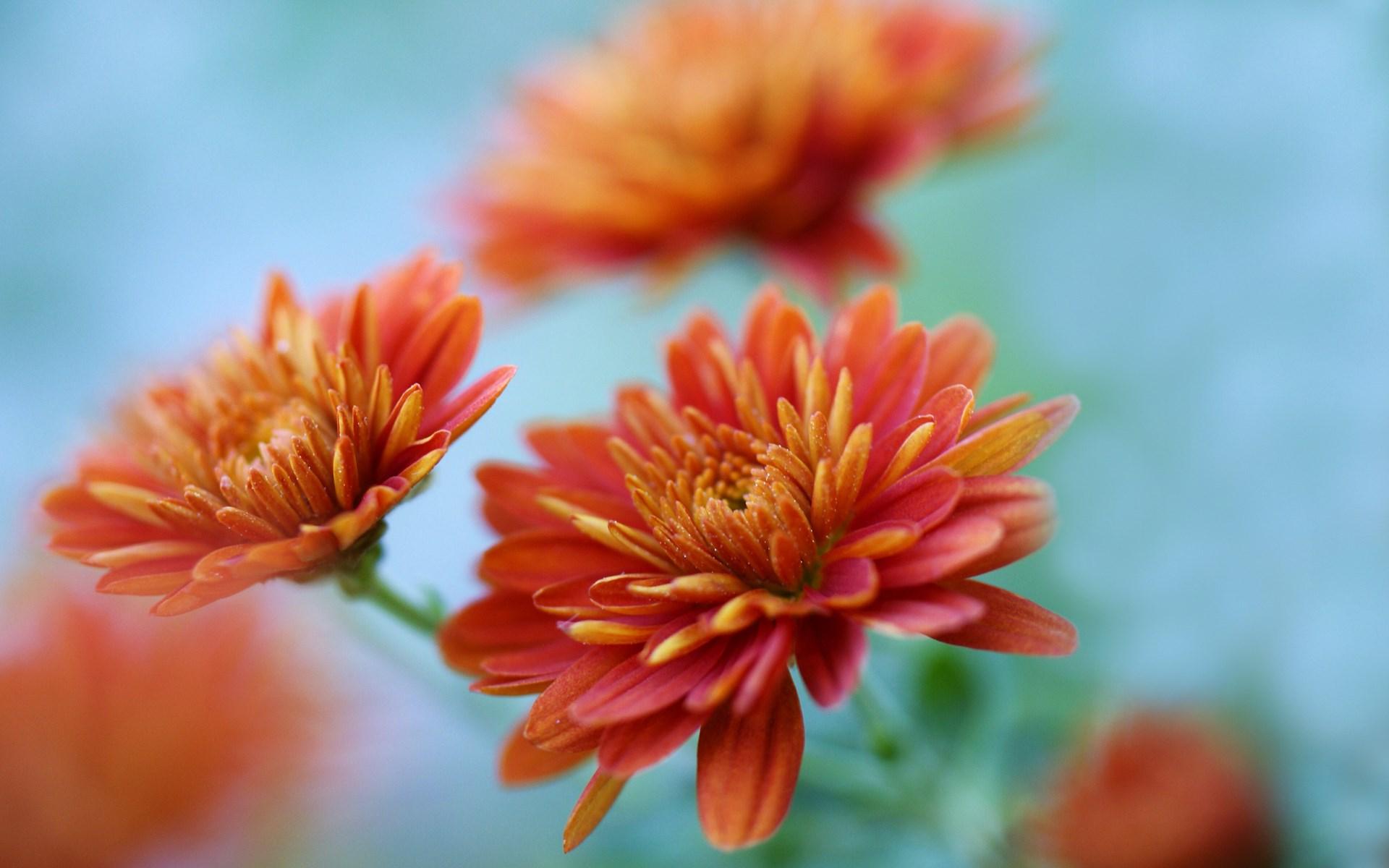 chrysanthemums hd 35294