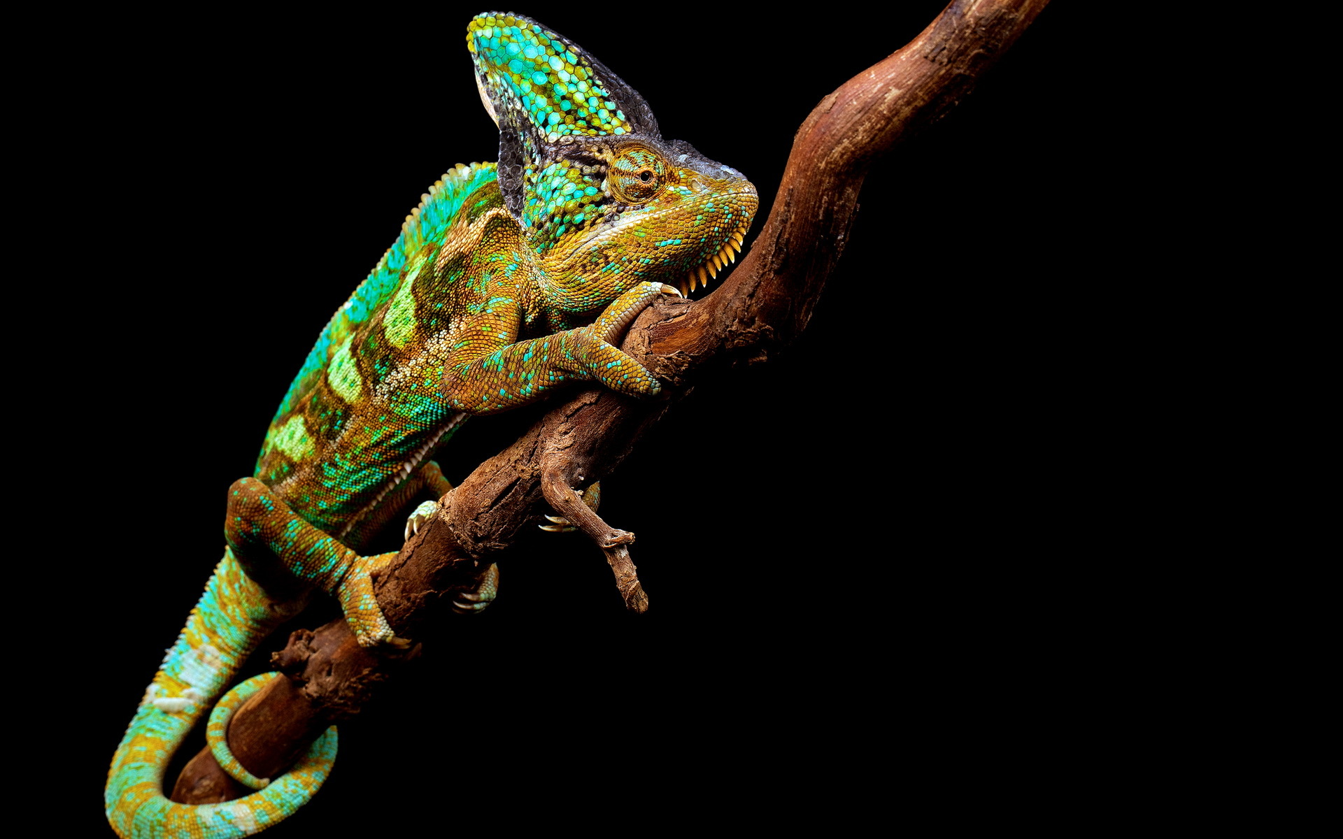 colorful chameleon 34523