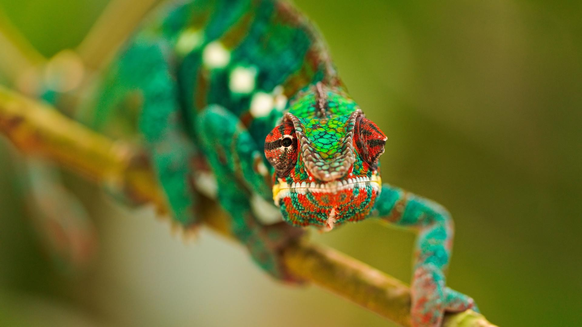 colorful chameleon 34524