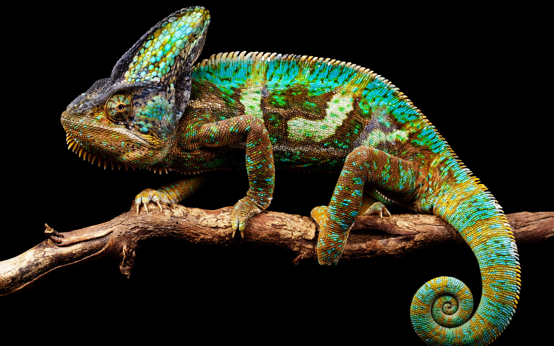 colorful chameleon 34528