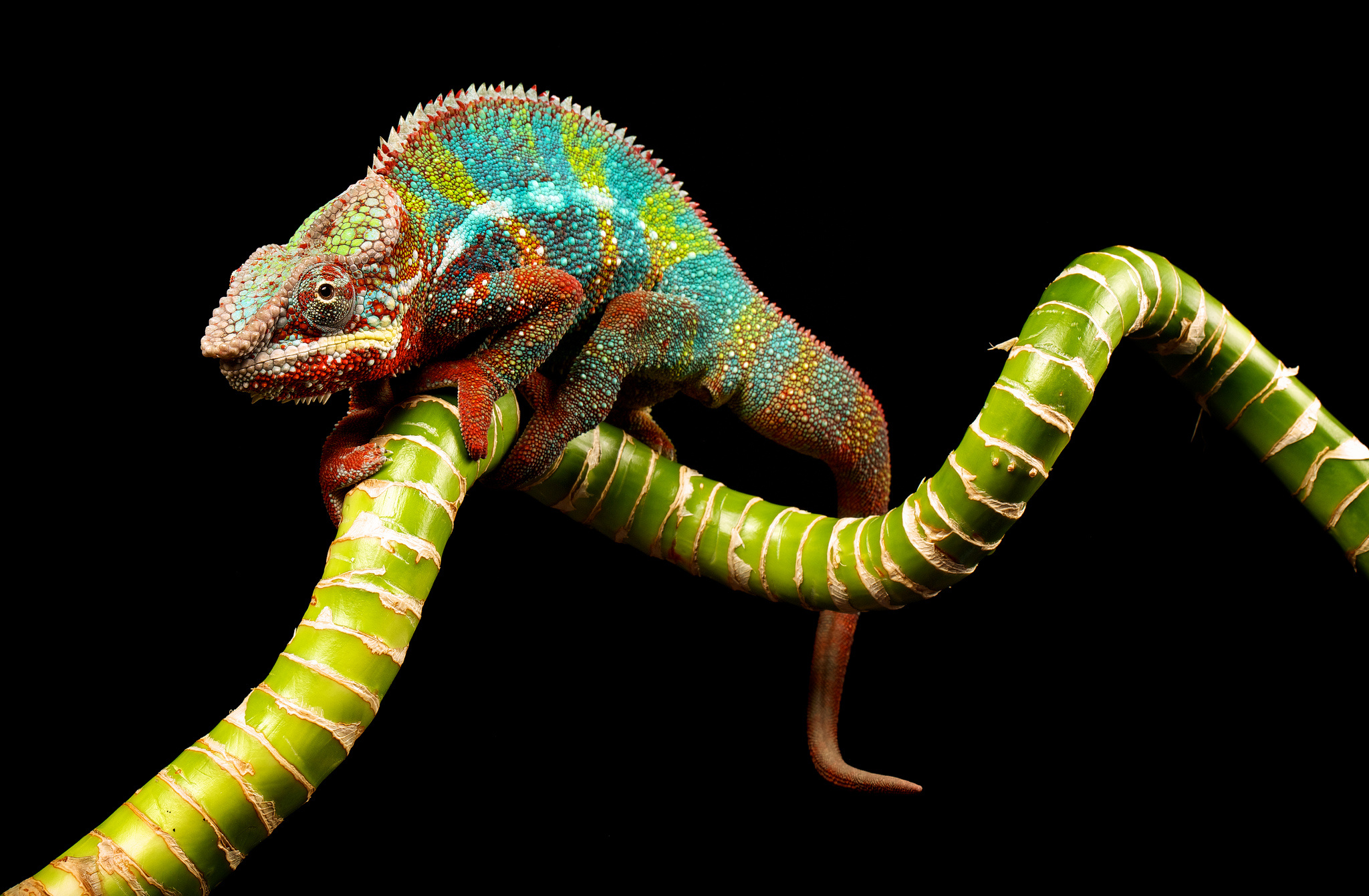 colorful chameleon wallpaper 34525