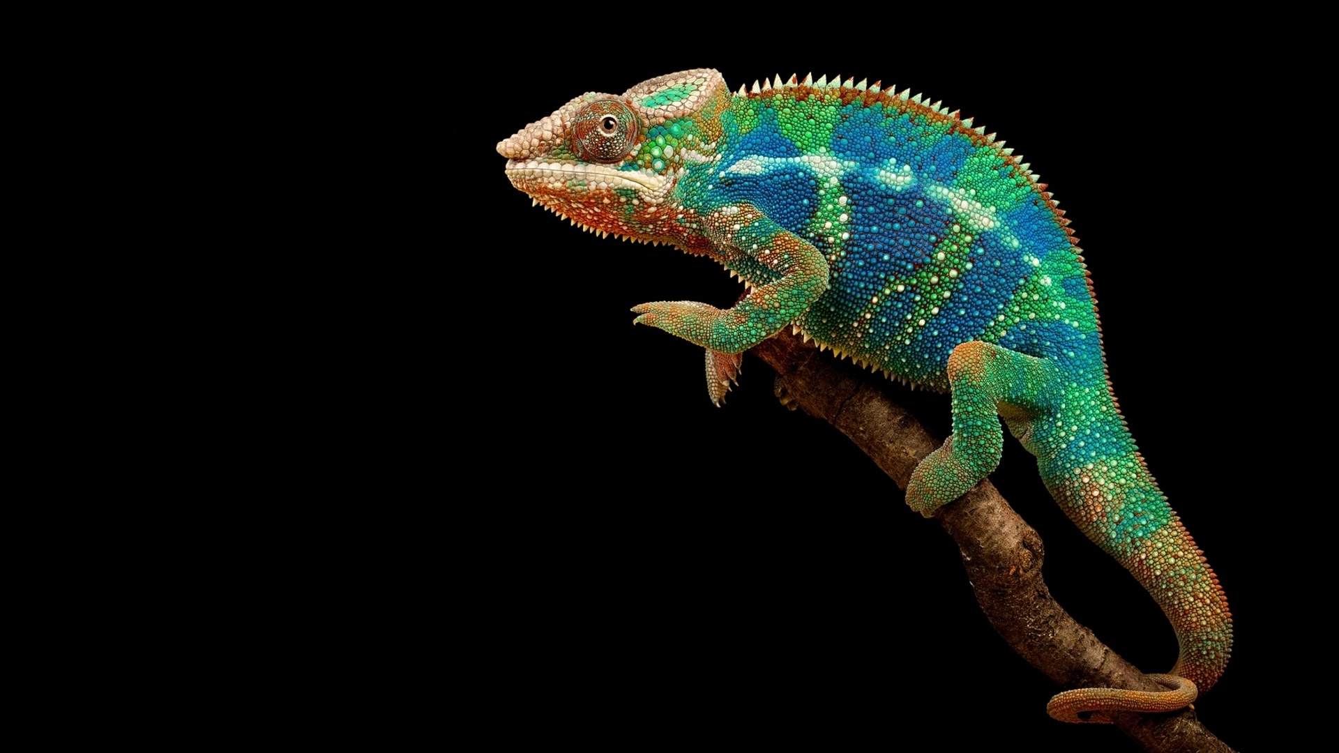 colorful chameleon wallpaper 34527