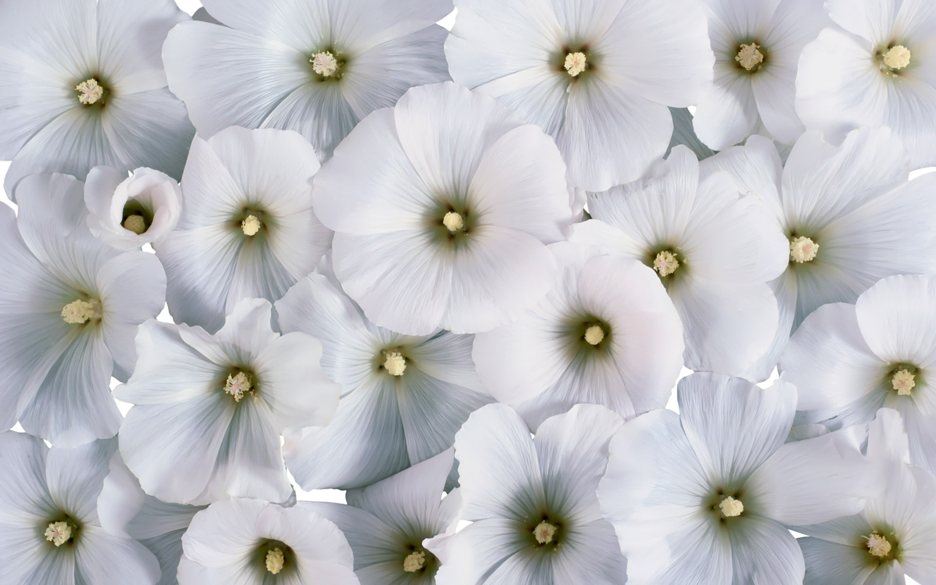 cool white flowers 23947