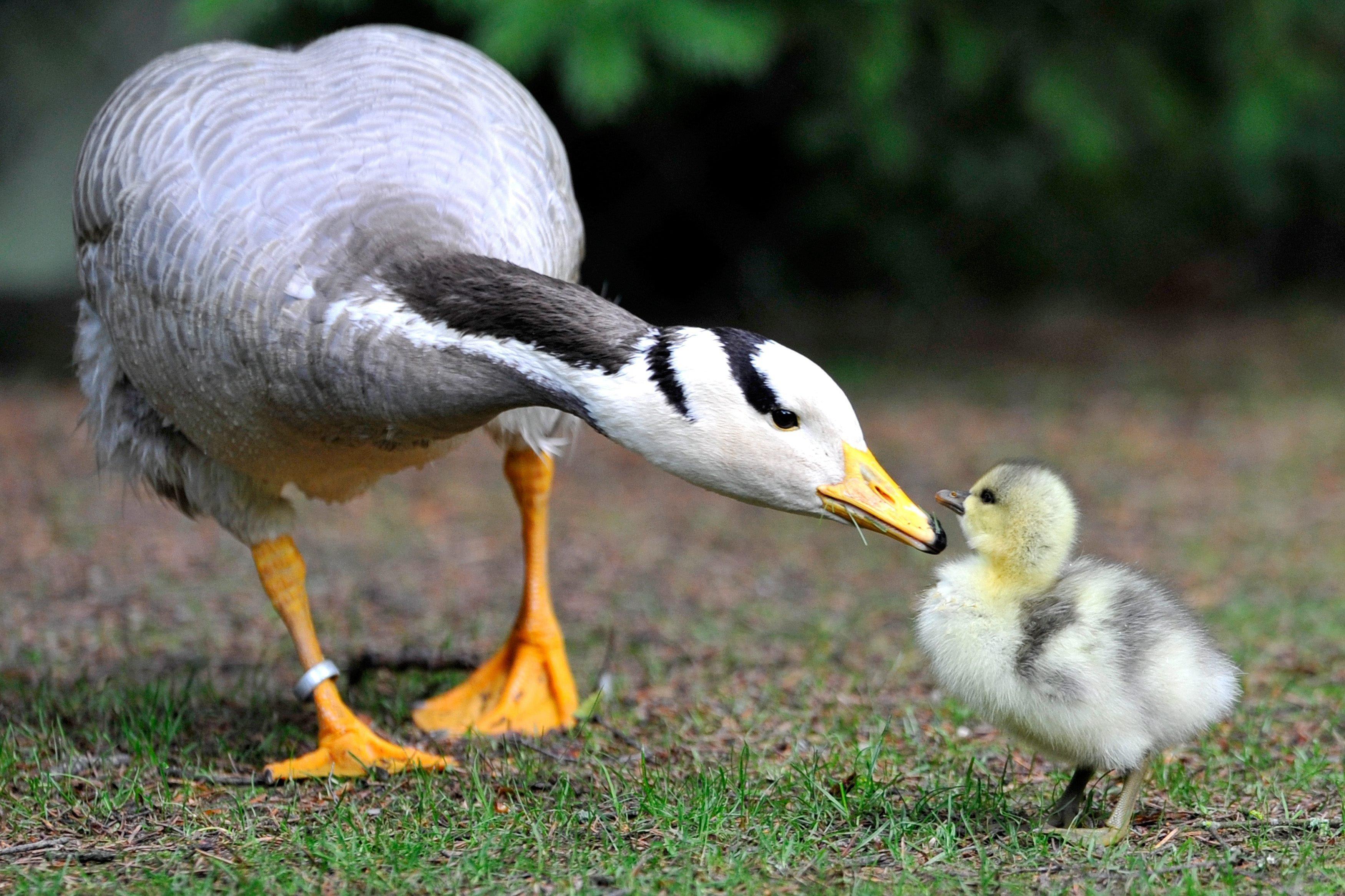 cute goose wallpaper 33256
