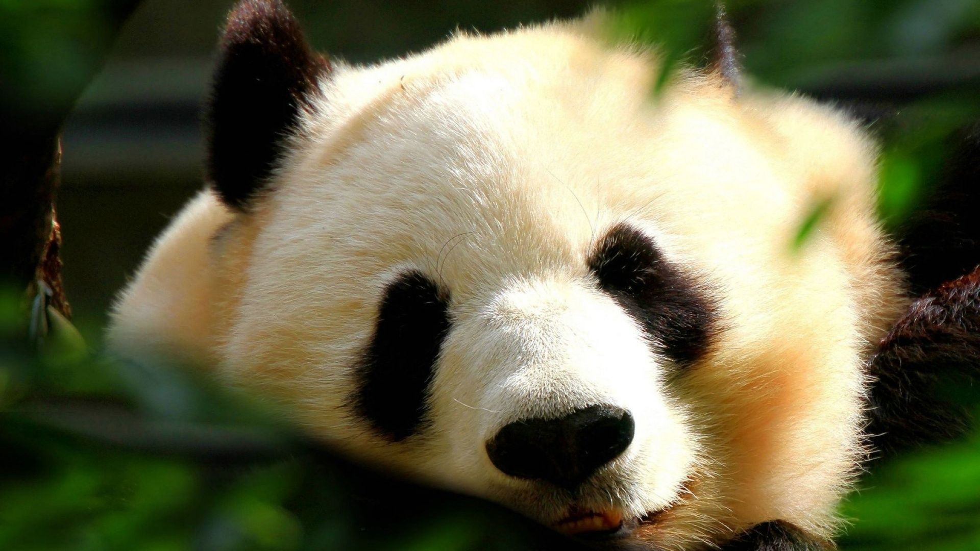 panda pictures hd wallpapers - photo #21