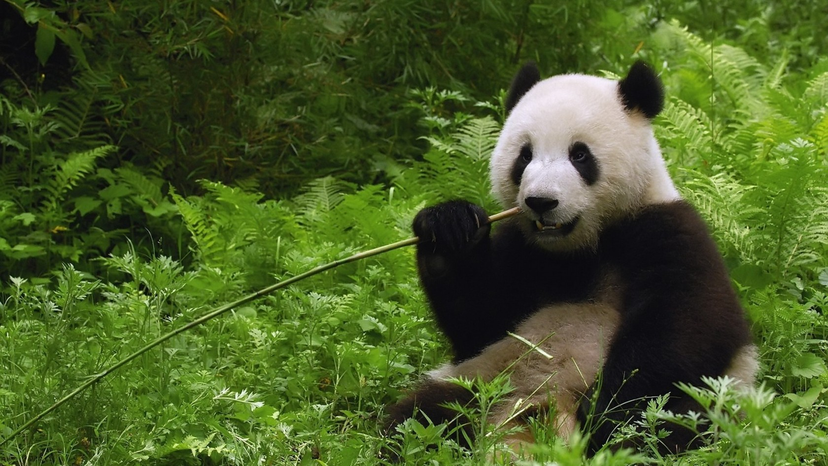 cute panda wallpaper 15784