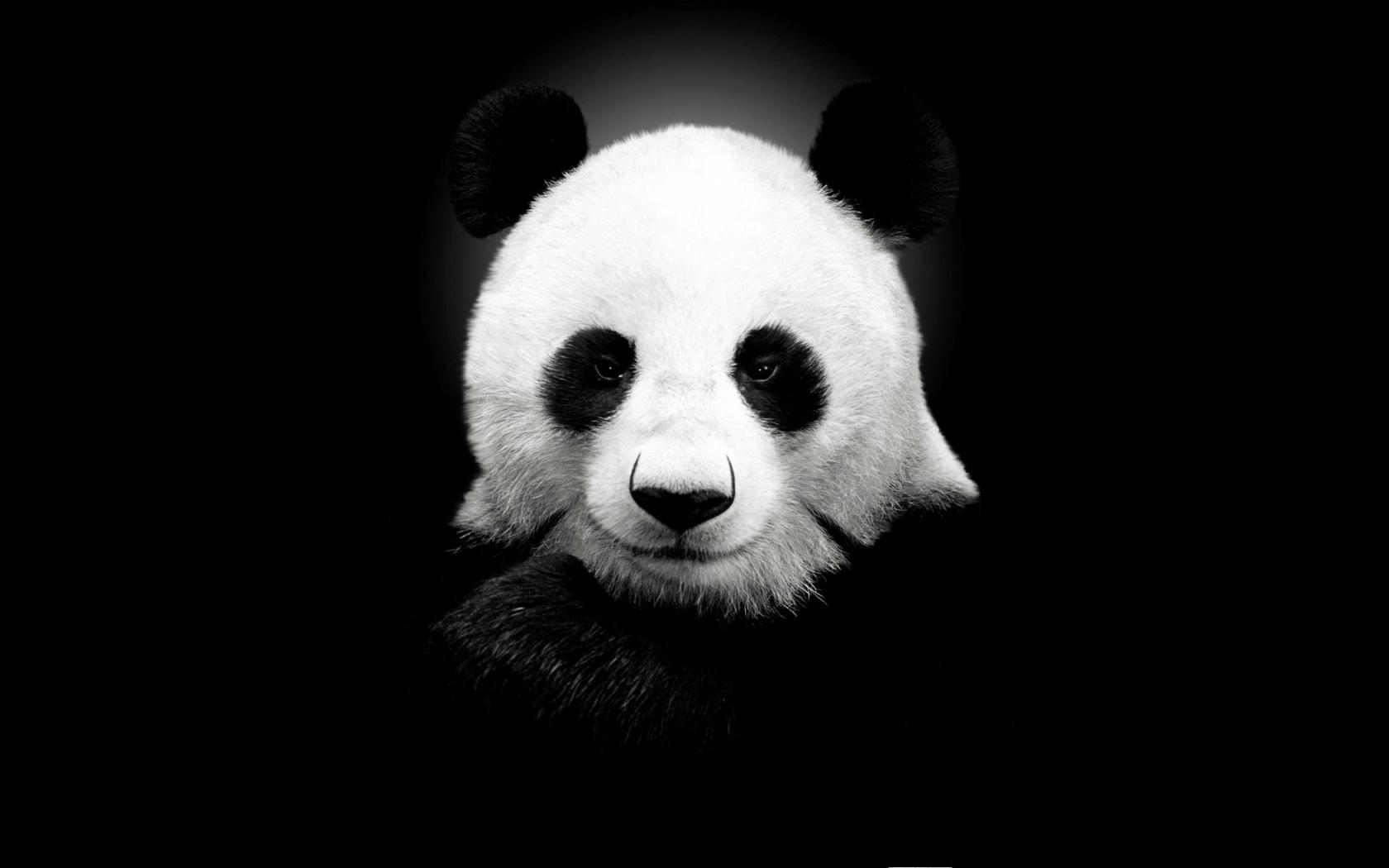 cute panda wallpaper 15789