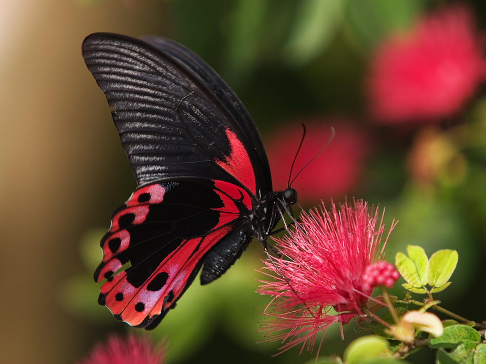 free butterfly wallpaper 21792