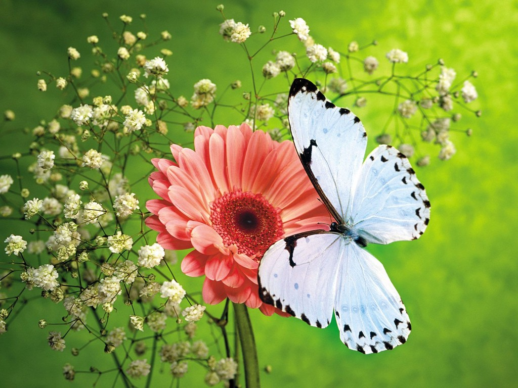 free butterfly wallpaper 21795