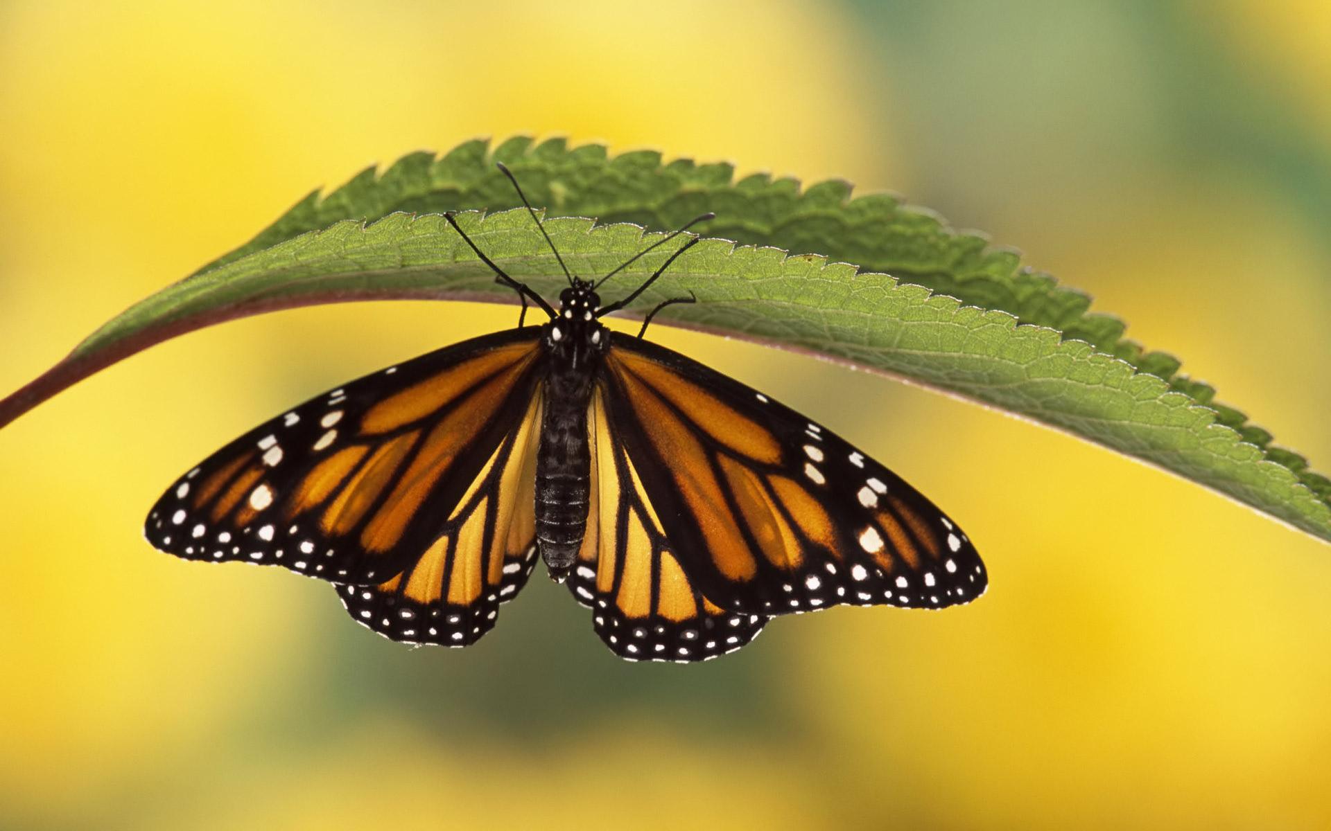 free butterfly wallpaper 21796