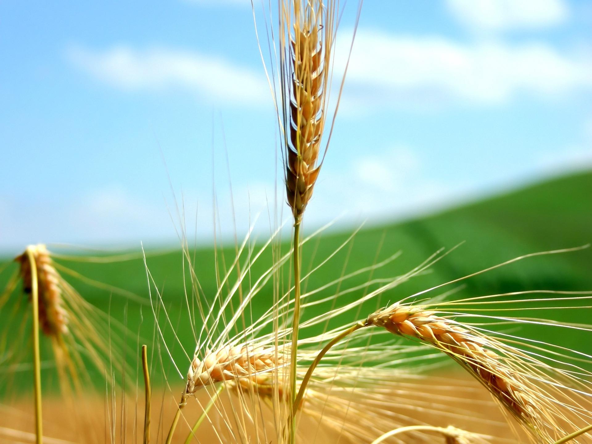 free wheat wallpaper 24062