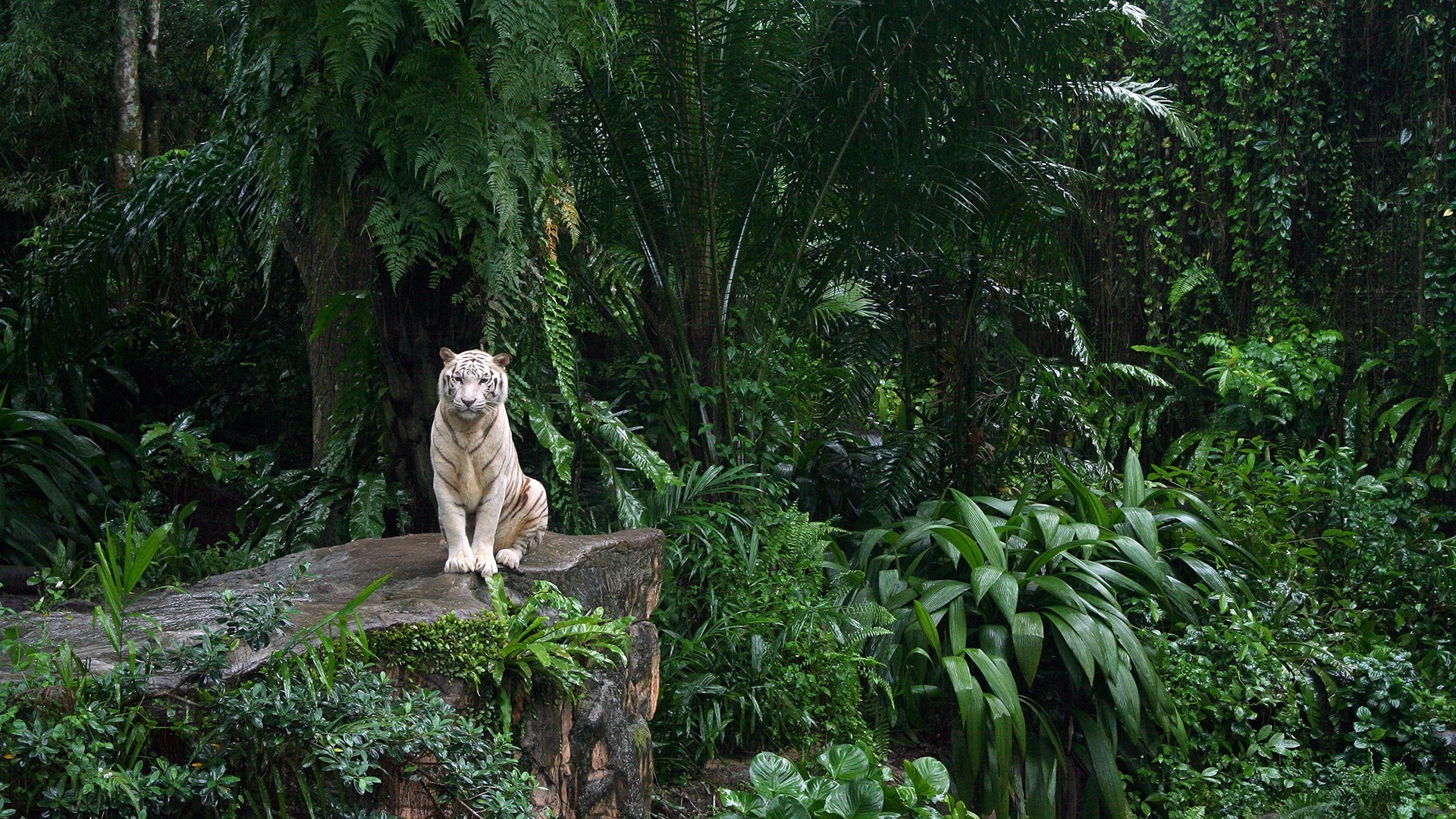 free white tiger wallpaper 25679