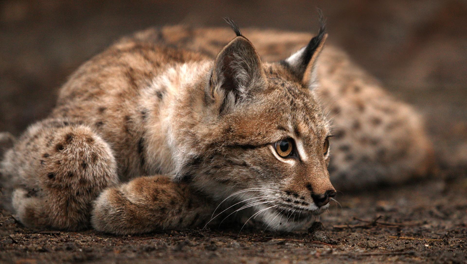 gorgeous lynx wallpaper 38493