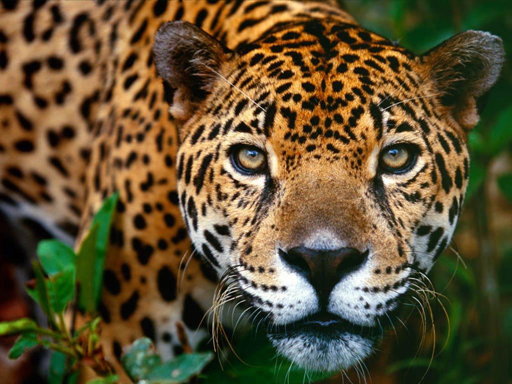 jaguar background 26089