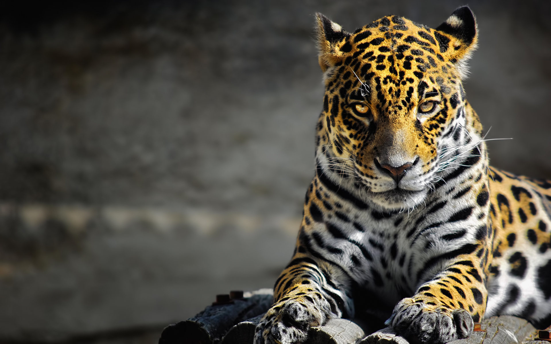 jaguar wallpaper 26083