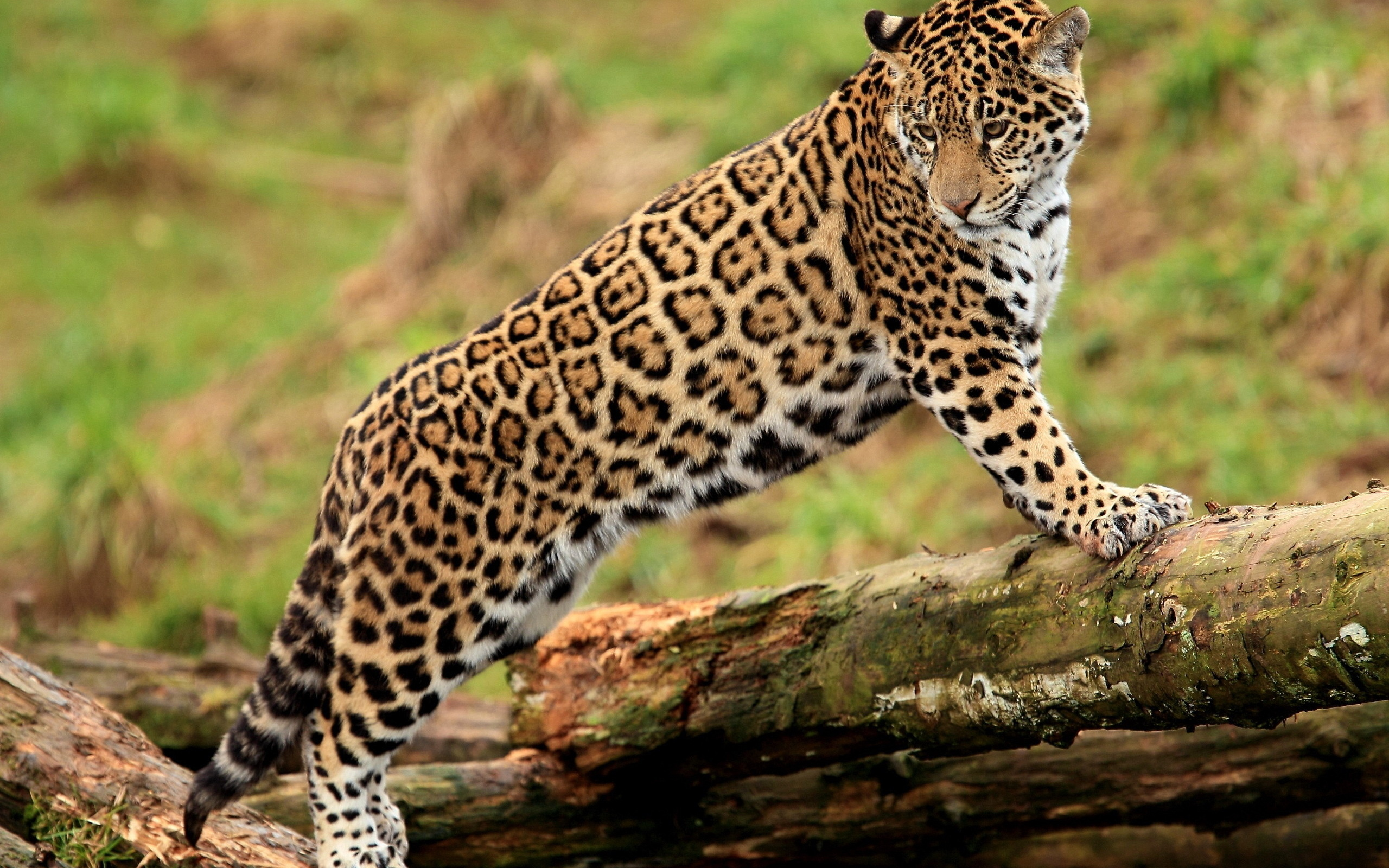 jaguar wallpaper 26090