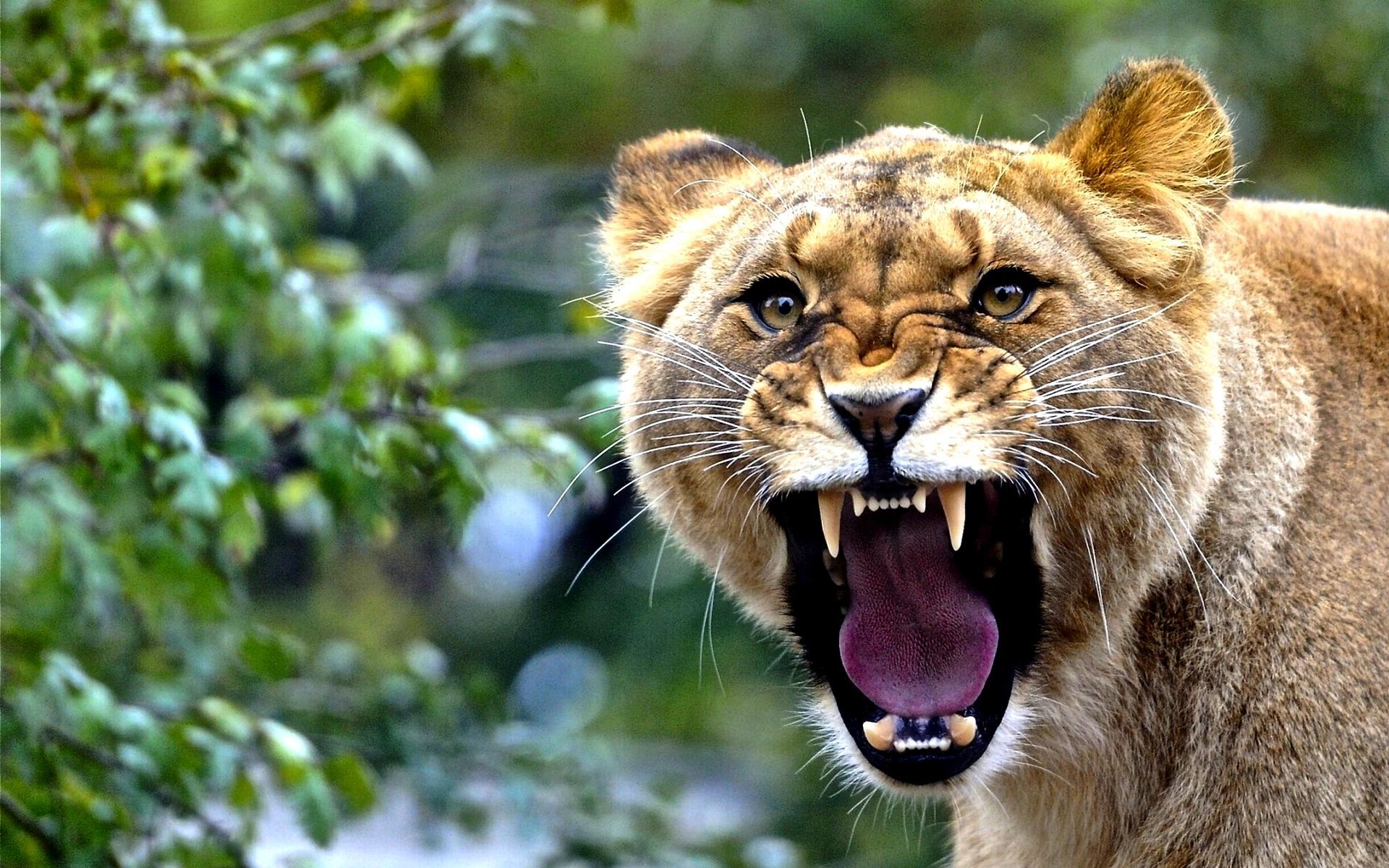 lioness roar wallpaper 40733