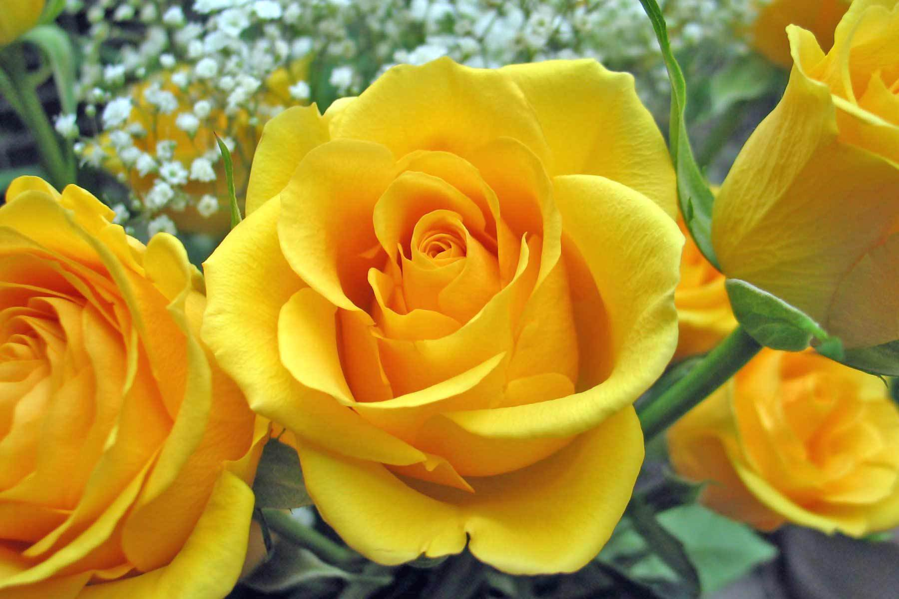 lovely yellow roses 29679