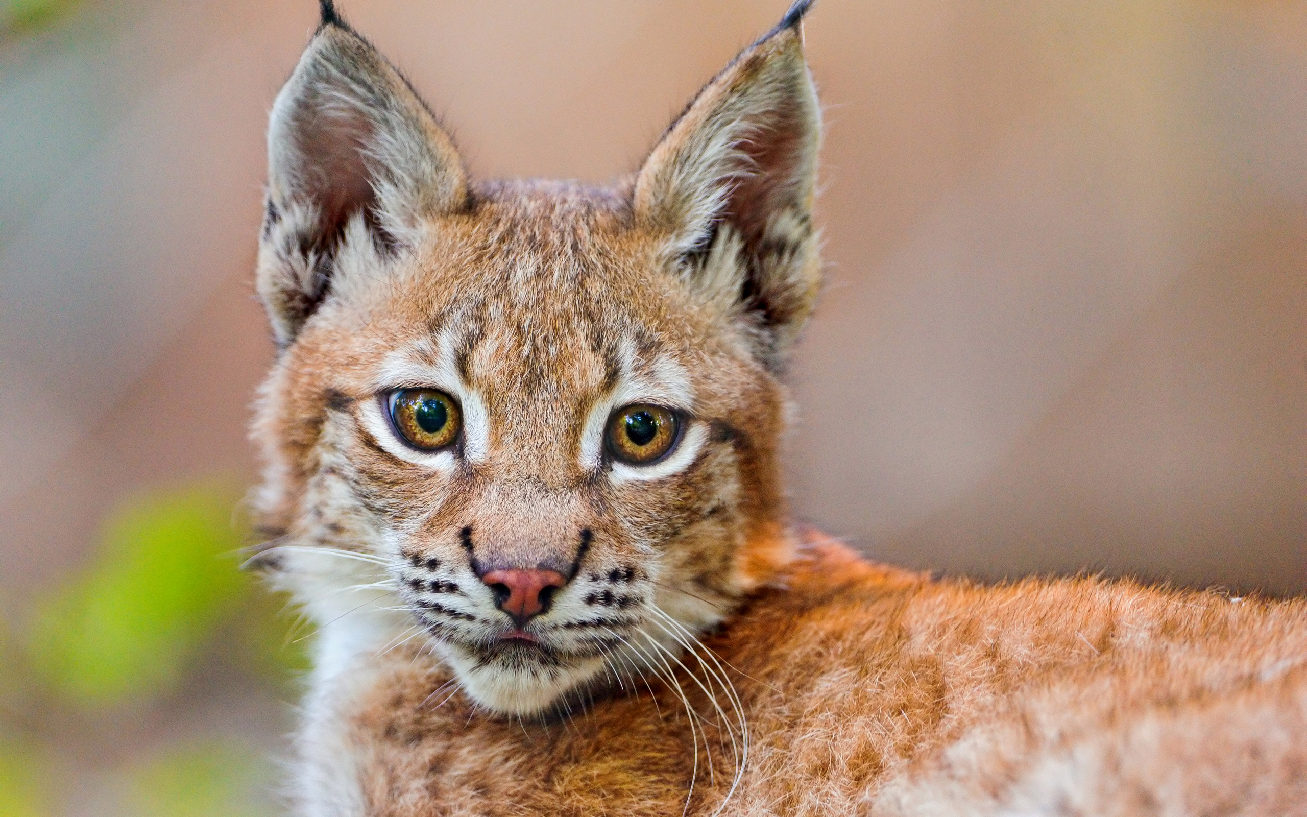 lynx wallpaper hd 38471