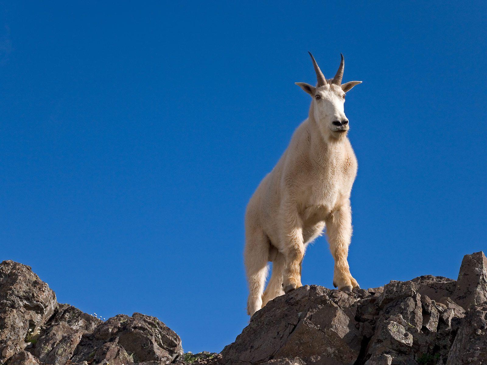 mountain goat desktop wallpaper 40723