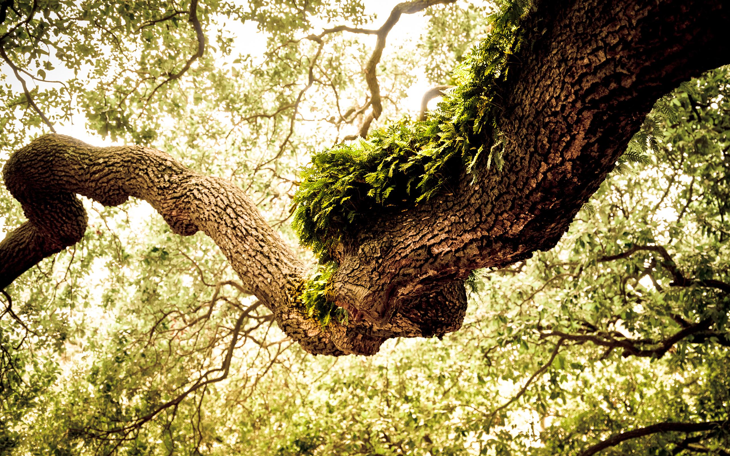 oak tree 32958