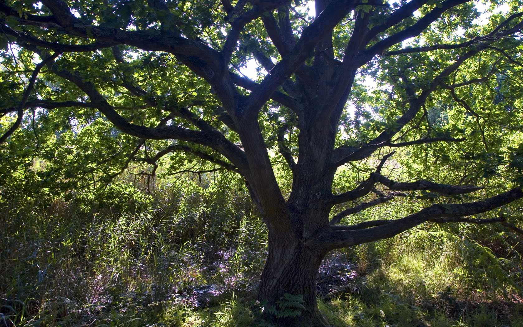 oak tree pictures 32975