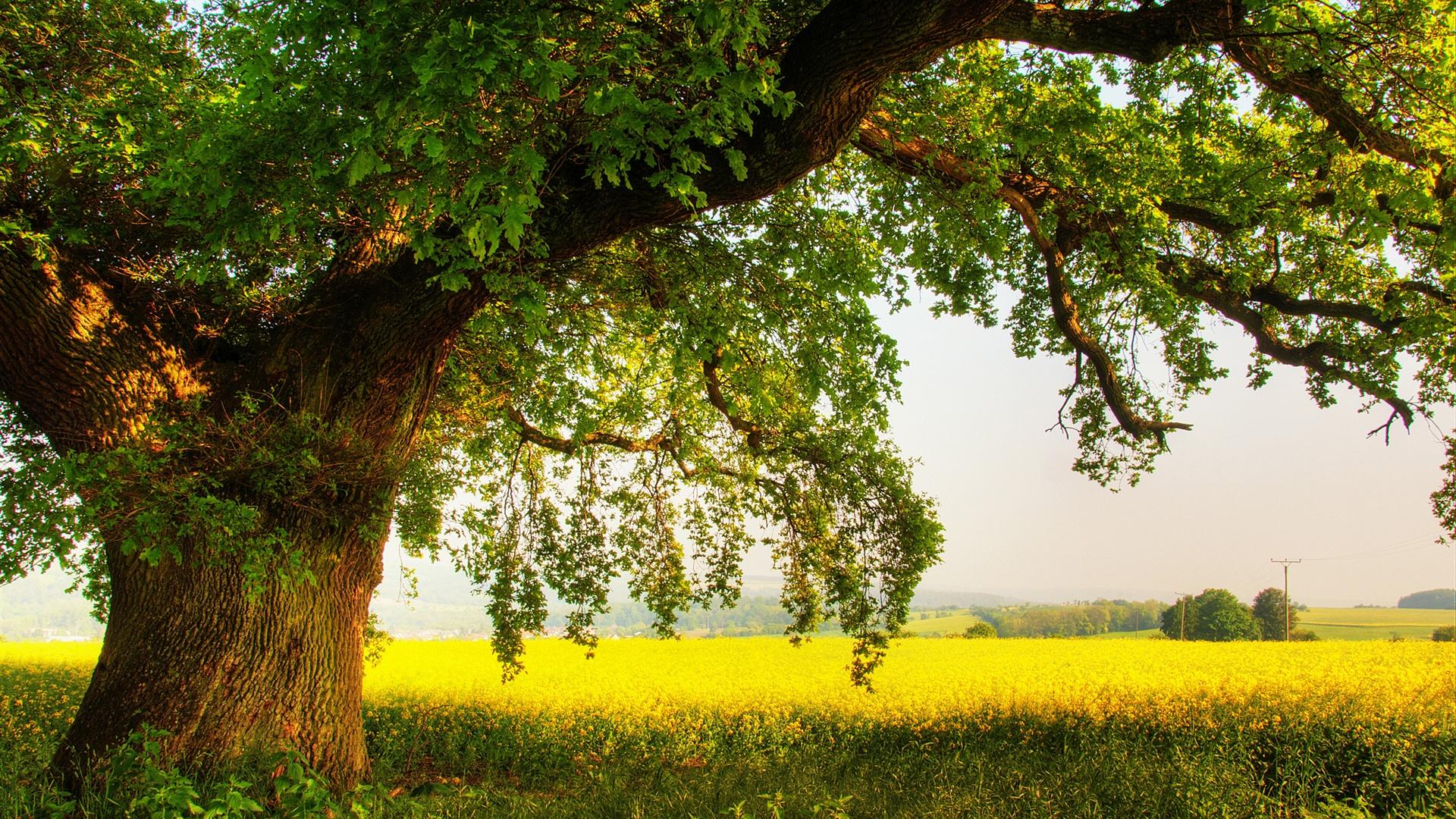 oak tree wallpaper hd 32960