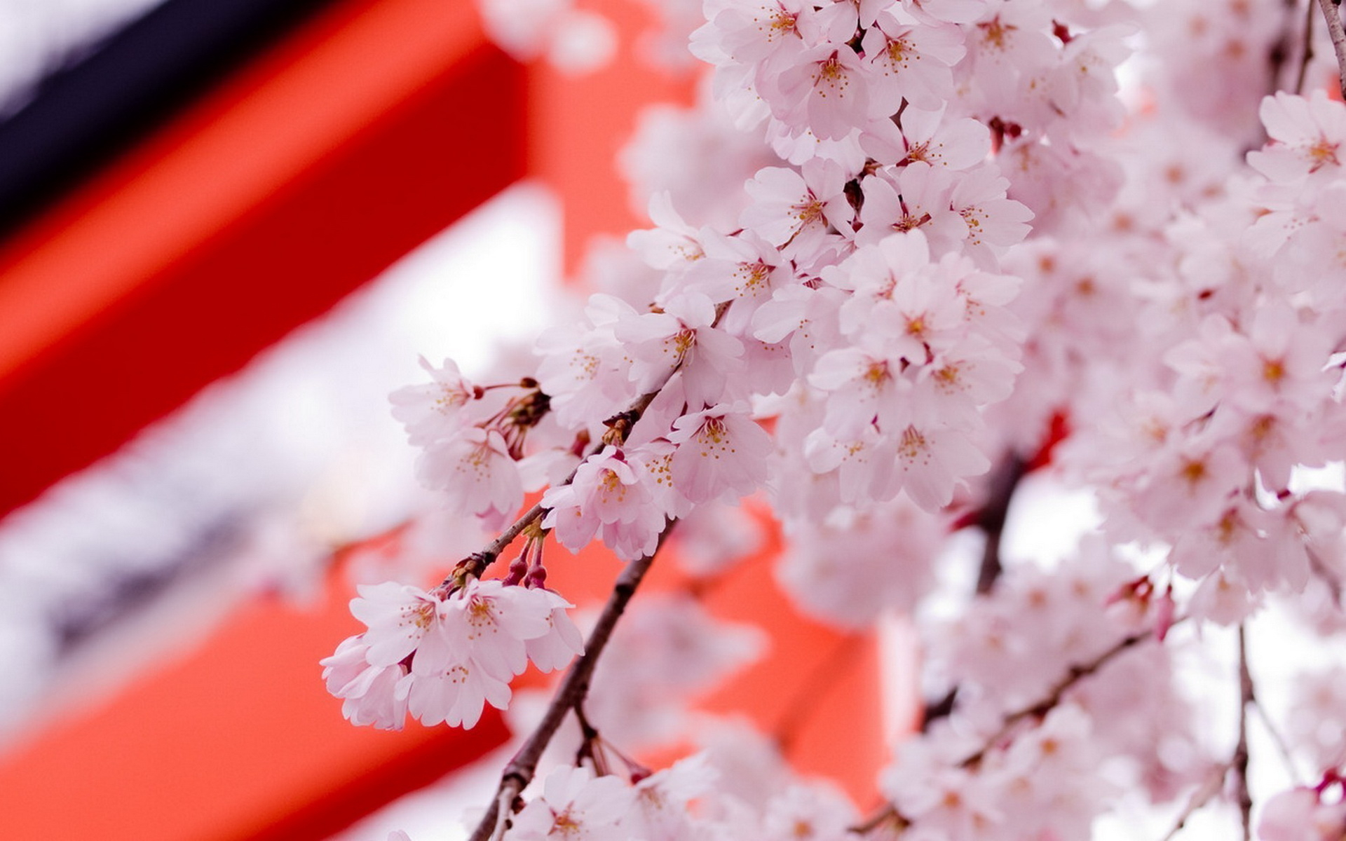 pretty sakura wallpaper 43396