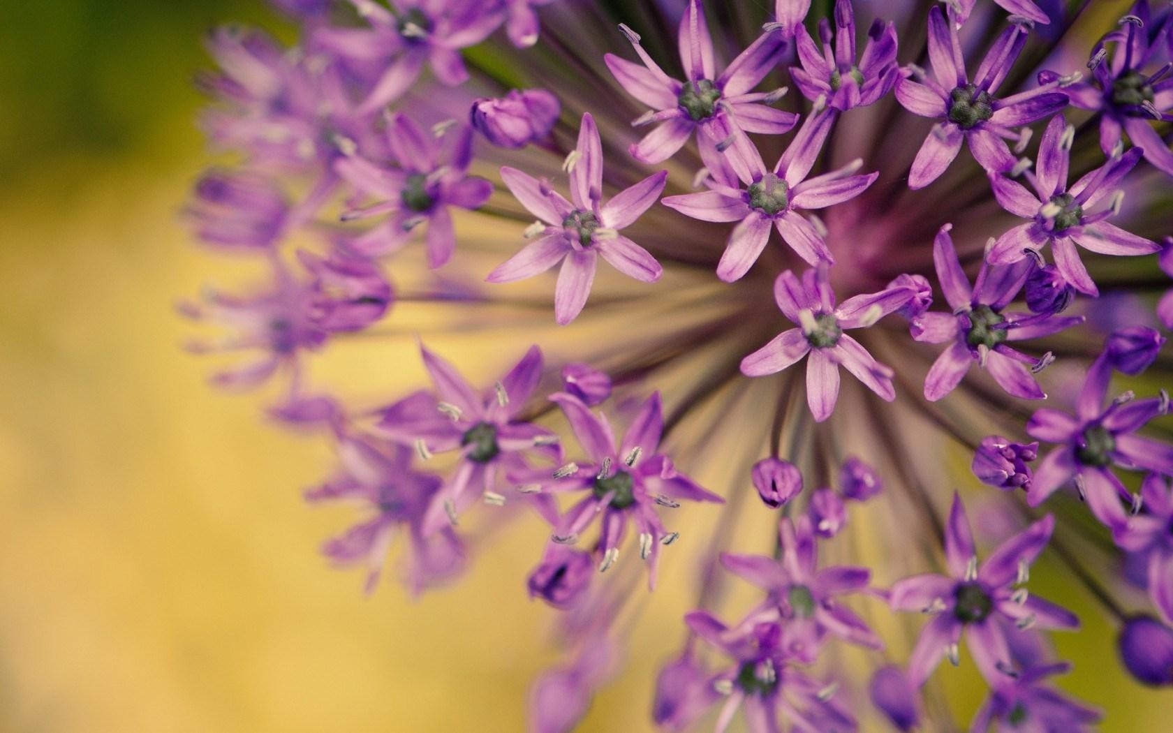 purple macro hd 38006