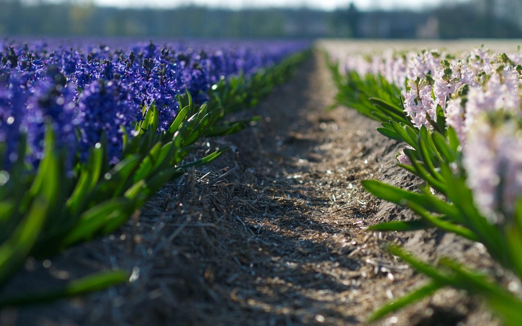 purple macro pictures 38005