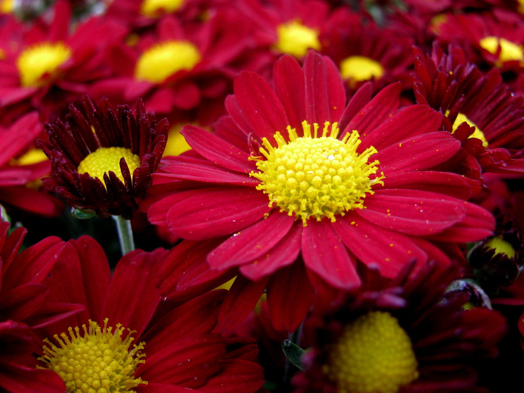 red daisy flower hd - photo #15