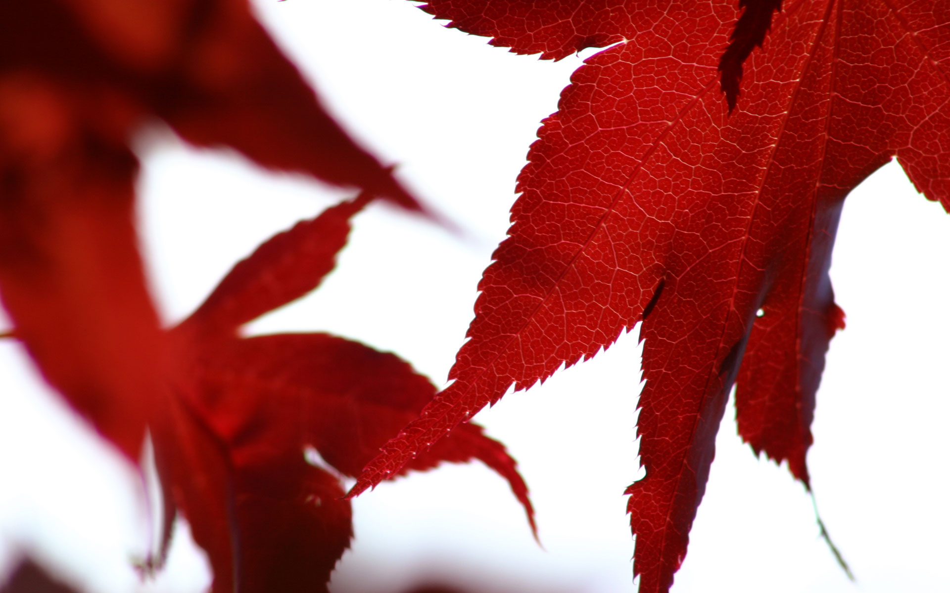 red leafs 27652