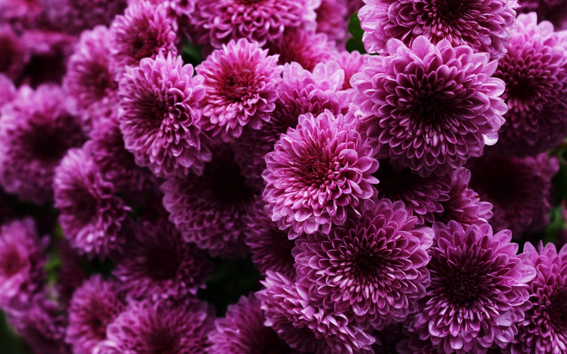 stunning chrysanthemums wallpaper 35295