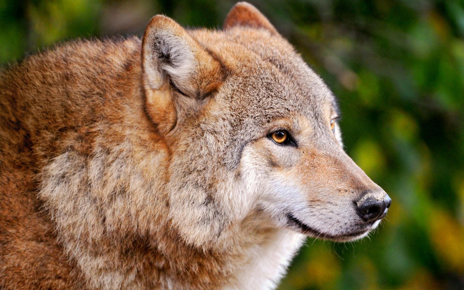 stunning wolf up close wallpaper 39806