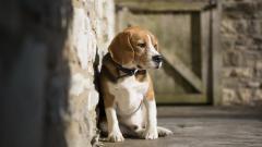 Adorable Beagles 21803