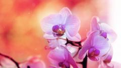 Amazing Orchid Wallpaper 24547