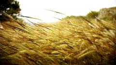 Amazing Wheat Wallpaper 24064