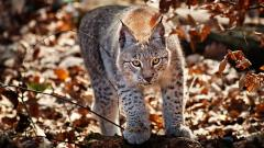 Awesome Lynx Wallpaper 38489