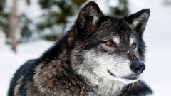 Awesome Wolf Up Close Wallpaper 39805