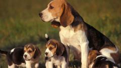 Baby Beagles 21802