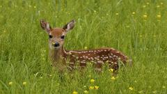 Baby Deer Wallpaper 16669
