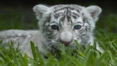 Baby White Tiger 25680